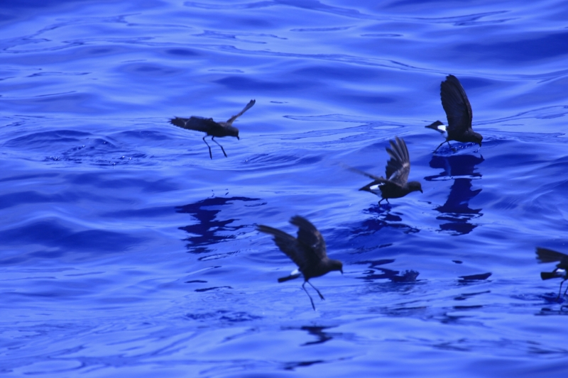 Wilson's Storm-Petrel in the Gulf of Mexico