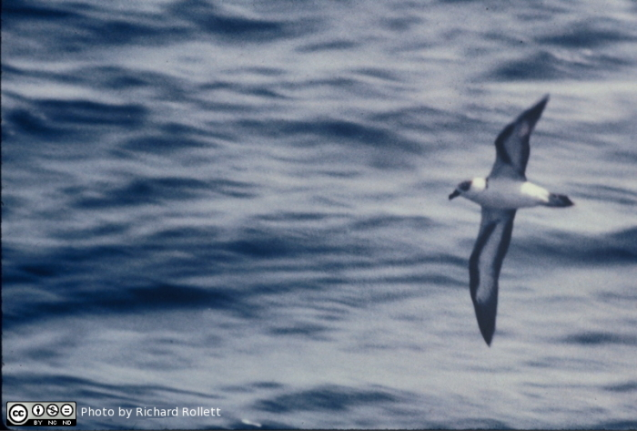 Black-capped Petrel in fight