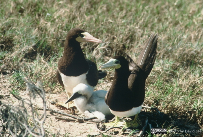 brown boobies with chick