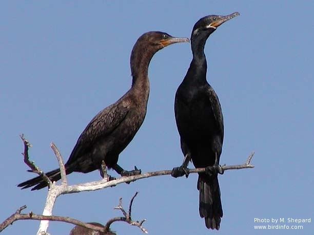 Breeding and non-breeding adult Neotropic Cormorants