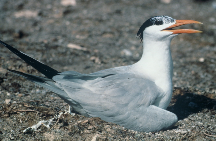 A Royal Tern at a nest site