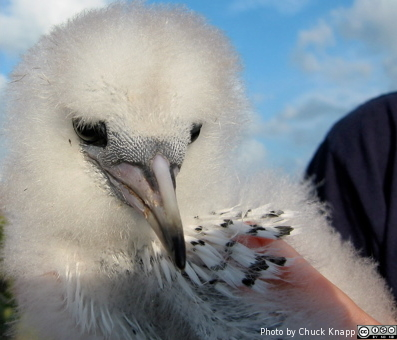 A tropicbird chick in 2003 at Warderick Wells (Photo by C. Knapp)