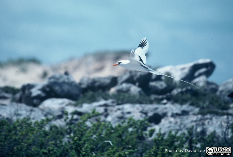 White-tailed Tropicbird landing at Warderick Wells. Photo by Dave Lee 1999.